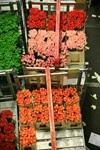 80 Dozen Roses
