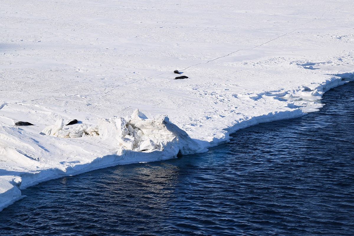 "Weddell seals rest, or ""haul out,"" on the sea ice near New Zealand's Scott Base. These mild-mannered mammals live along the fringes of the entire Antarctic coast and can weigh up to 1,350 pounds."