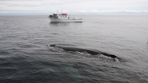 Fishermen Risk Lives To Rescue Whale