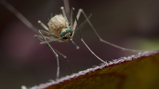 Christians, Think Twice About Eradicating Mosquitoes to Defeat Malaria