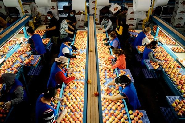 Trabajadores seleccionando manzanas en el Valle de San Joaquín en California. A menudo, las casas empacadoras contratan mujeres, las cuales trabajan en espacios reducidos, siendo una fuente potencial de contagio del coronavirus.