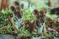 The stars of the show—twintiger cubs
