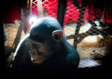 Saving Chimps, Serving God
