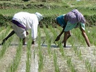Rice Planting India