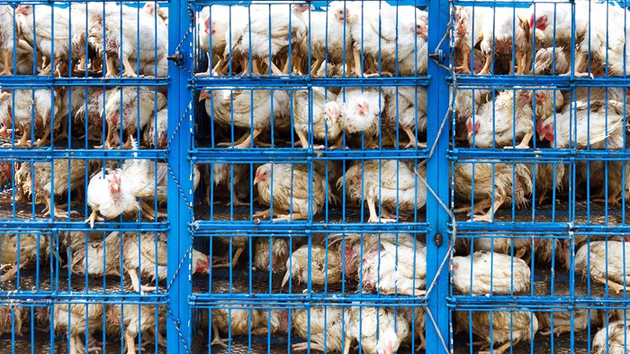 The Blessings of Factory Farming