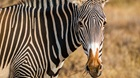 Counterfeit Zebras Alleged at Local Zoo