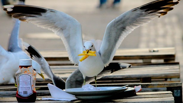 Researchers Suggest Staring at Seagulls Prevents Food Theft